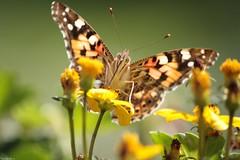 ..... (anka.anka28) Tags: flower macro green yellow butterfly explore zielony kwiat żółty motyl explored 450d canon450d platinumheartaward tzf2