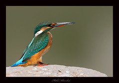 common kingfisher    (mohammad khorshid (boali)) Tags: life wild bird birds canon 600 kingfisher kuwait common q8   kwt      1dmk2n