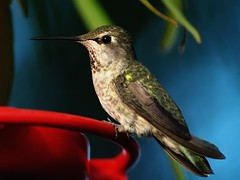 Hummingbird Portrait (joecrowaz) Tags: arizona macro nature beauty birds pose olympus noflash hummingbirds plump e500 supershot goldstaraward 200wlight