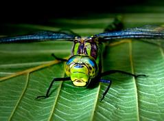 [フリー画像] 動物, 昆虫, トンボ, グリーン, 201004020500