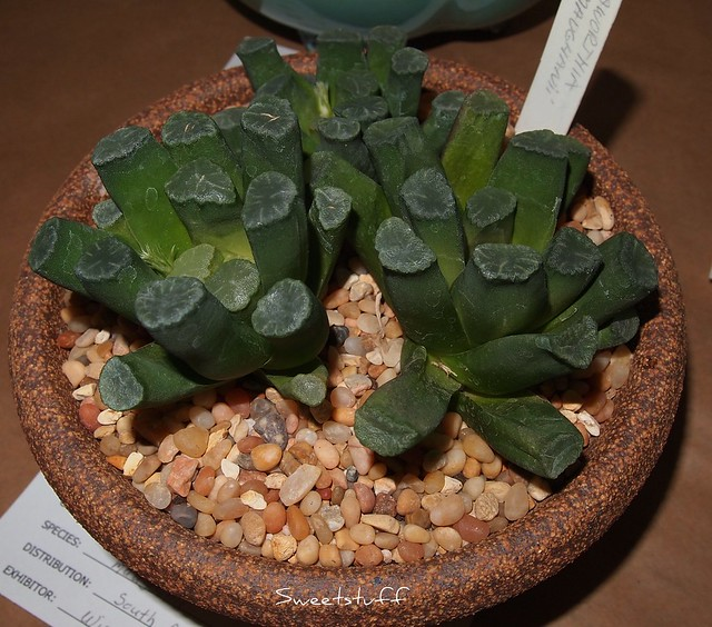 Haworthia Maughanii from S. Africa
