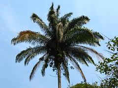 Palmeira Imperial (Roystonea oleracea) Jardim botanico São paulo, Brasil. Caribean native palm