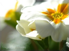 Dreaming of Spring....... (Tracey Tilson Photography) Tags: white flower macro green nature yellow closeup 50mm spring nikon dream dreaming dreamy february delicate picnik springtime primrose d90