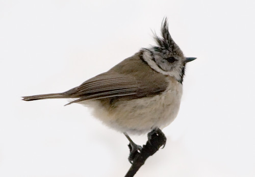 Crested Tit; Parus cristatus by phenolog.