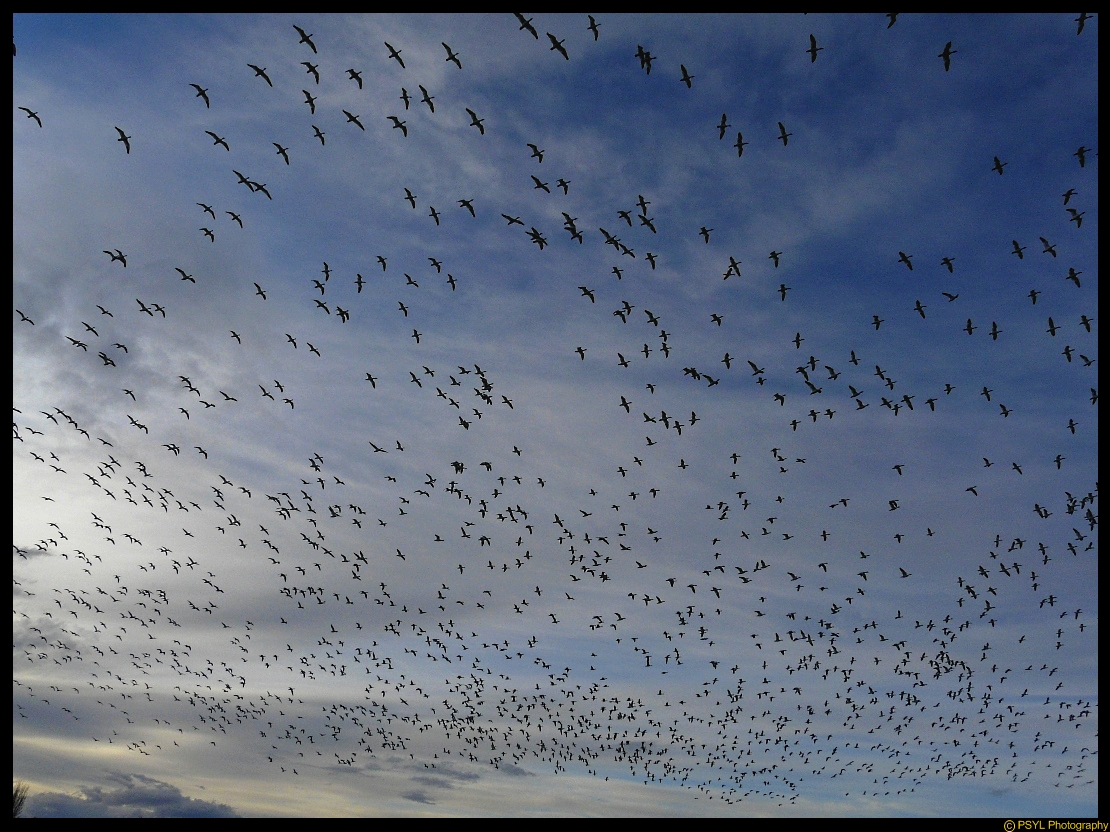 A cloud of Snow Geese