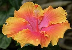 Standard But Superb (+David+) Tags: flower hibiscus highlandpark lambertonconservatory