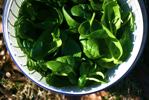 First Spinach Harvest