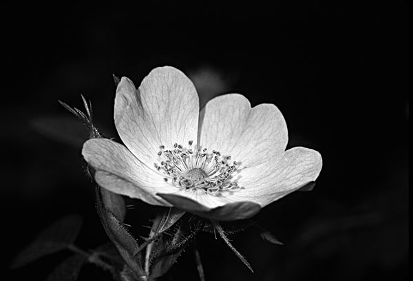 black and white flowers photography. Posted in lack and white