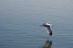 Seagulls (kenyaya) Tags: seagulls lake toronto ontario canada bird water canon rebel lakeshore boardwalk xs lakeontario 1000d