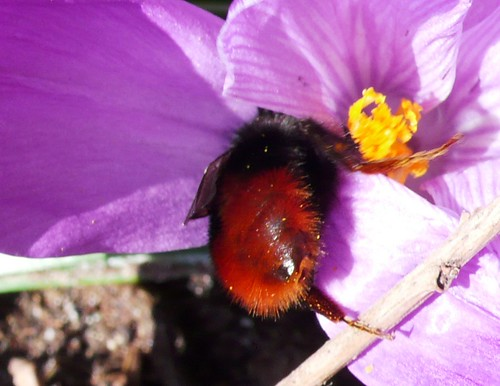 Bee in the crocus