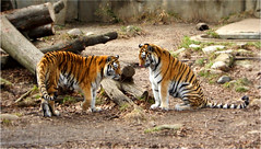 Tiger Love (Smiles In Rearview Mirrors) Tags: cats green animals zoo sticks tigers