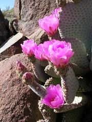2009.03.24 - beavertail cactus I (JBYoder) Tags: california cactus flower nature flora desert mojave cactaceae joshuatreenationalpark angiosperm basilaris fieldseason2009
