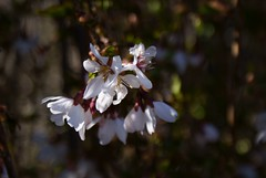 Another Flowering Tree Close-Up