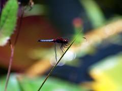 libelula (Don Perucho) Tags: fauna flora venezuela libelula insecto lirios nenufar jardinbotanicodecaracas naturemaster