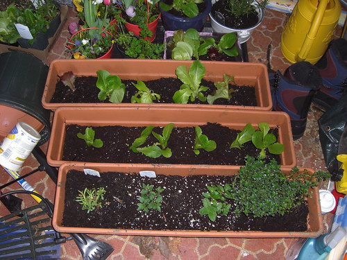 I planted two lettuce boxes and one herb box