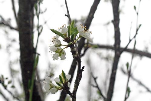 plum_tree_2009