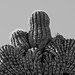 crested saguaro growth