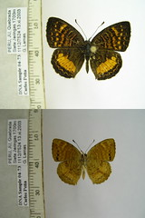 Higginsius fasciatus