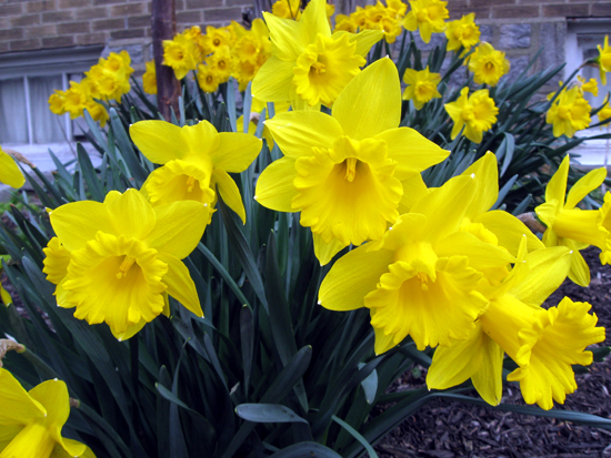 Daffodils (Click to enlarge)