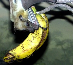 "Bat, Oregon Zoo (luckyonthecliff, Kathy ""Cody"" Robinson) Tags: bat banana oregonzoo mammel hiddenworld worldofanimals getyourgeekon zoosofnorthamerica"