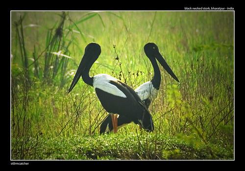 Black Necked Storks
