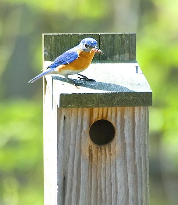 Blue Bird Dad