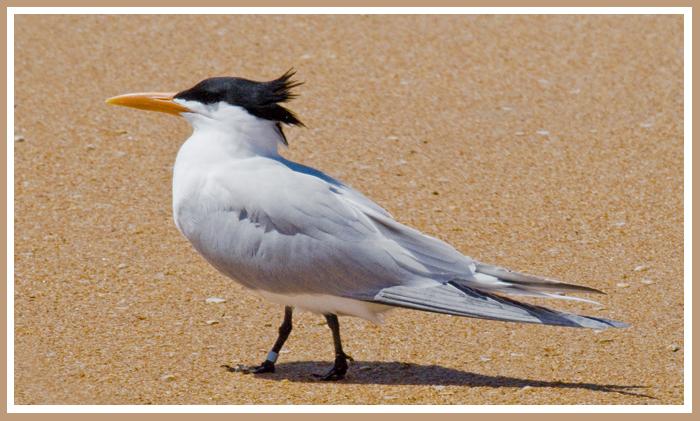 Capsian Tern