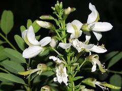 Falsa canela arroyera /Arroyo Sweetwood (Myrospermum sousanum)