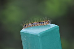 Eastern Tent Catepillar by lowlight47
