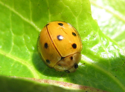 Apr 30: Variable Ladybird (9-spot colour form)