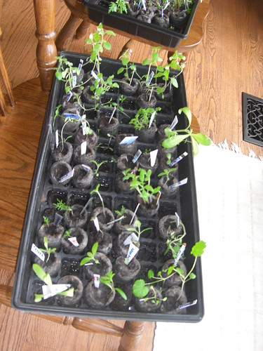A seedling tray as part of my organic Gardening Adventures