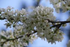 IMG_4824 (shinyai) Tags: japan aomori hirosaki