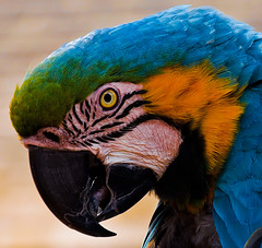 Rodney - Blue and Yellow Macaw (Gordon Mould) Tags: colour bird animal lens nikon northamptonshire kitlens parrot coton kit macaw 18105 blueandyellowmacaw d90 cotonmanor 18105mm nikond90 cotonmanorgarden
