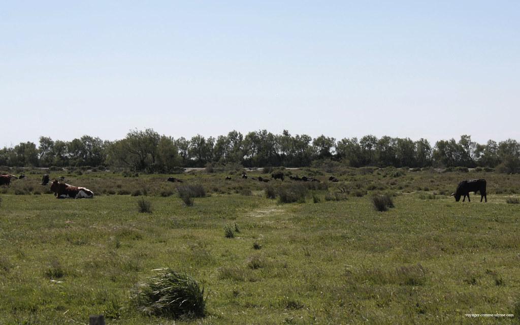 Vaches et taureaux, à deux pas de la route