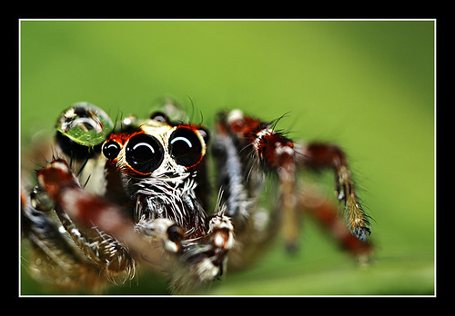 Jumping Spider 5:1