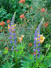 Blue Lupines and orange Euphorbias and Tulips