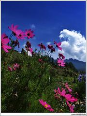 Resort, flower, Mesilau, Kinabalu and Kundasang, Kiram Village (sam4605) Tags: landscape scenery pemandangan lanskap sam4605