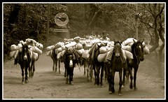 Fleet Of Horses (myselfsuperman) Tags: trip trees horses bw horse food india man forest dark photography grey blackwhite picnic outdoor hunting adventure tired maharashtra dust supplies outing hillstation matheran supershot jngle