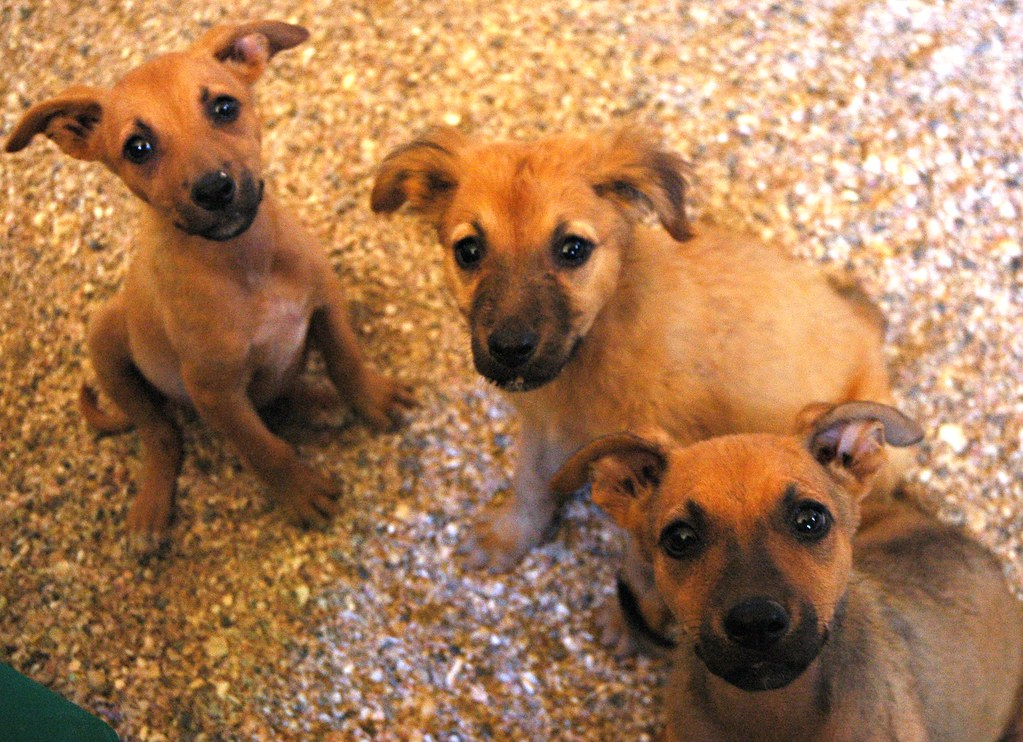 3 puppies from the same litter: Miss Bambie Buttram, Miss Fuzzy Orange, and Miss Rose Alice Lane, without their brother Blue, Resturant, Baja, Mexico