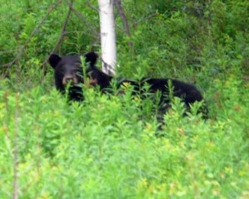 grown black bear