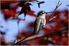 Anna's Hummingbird (Wind Home) Tags: cute bird nature closeup oregon canon maple dof hummingbird 300mm annas avian platinumheartaward hummingbirdphotography