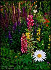 Flower Garden (Samantha Postman / Photographer) Tags: flowers color colour leaves garden bed southern alberta daisy variety lupin perennials sb800
