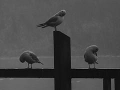 seagulls (Leo Reynolds) Tags: bw bird animal fauna photoshop canon iso100 is seagull powershot 0004sec f57 hpexif leol30random sx10 groupbw groupnorwich groupsepiabw xleol30x xratio4x3x xxx2009xxx