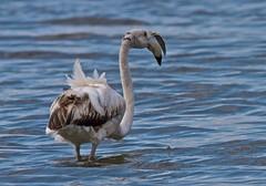 IMG_0703_1 (Antonio clic) Tags: sardegna fauna canon reflex sardinia flamingo flamingos ali uccelli volo ala birdwatching avifauna fenicotteri stagno fenicottero piume puzzones