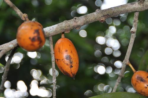Mammea siamensis Kosterm. Clusiaceae (Guttiferae): สารภี