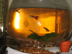 Guppies in Less Than Clear Water (cin_kong) Tags: fishbowl guppy livebearer