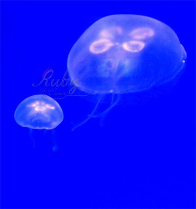 Monaco_aquarium_jellyfish