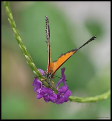 Look Into My Eyes... (Little Laddie) Tags: orange flower macro nature butterfly insect bravo purple wildlife