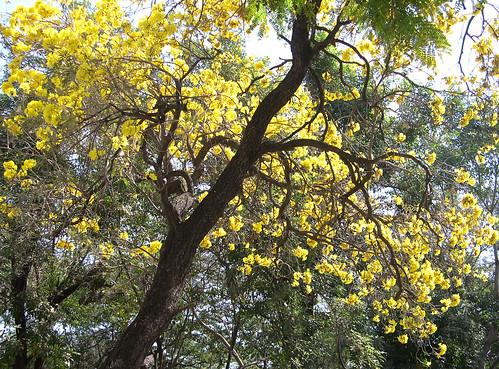 Tabebuia Aurea