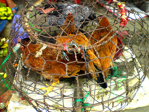 Chickens at Market, three chickens for sale in the open air market of Hoi An, Vietnam, December 2008, photo © 2008-2009 by ybonesy, all rights reserved